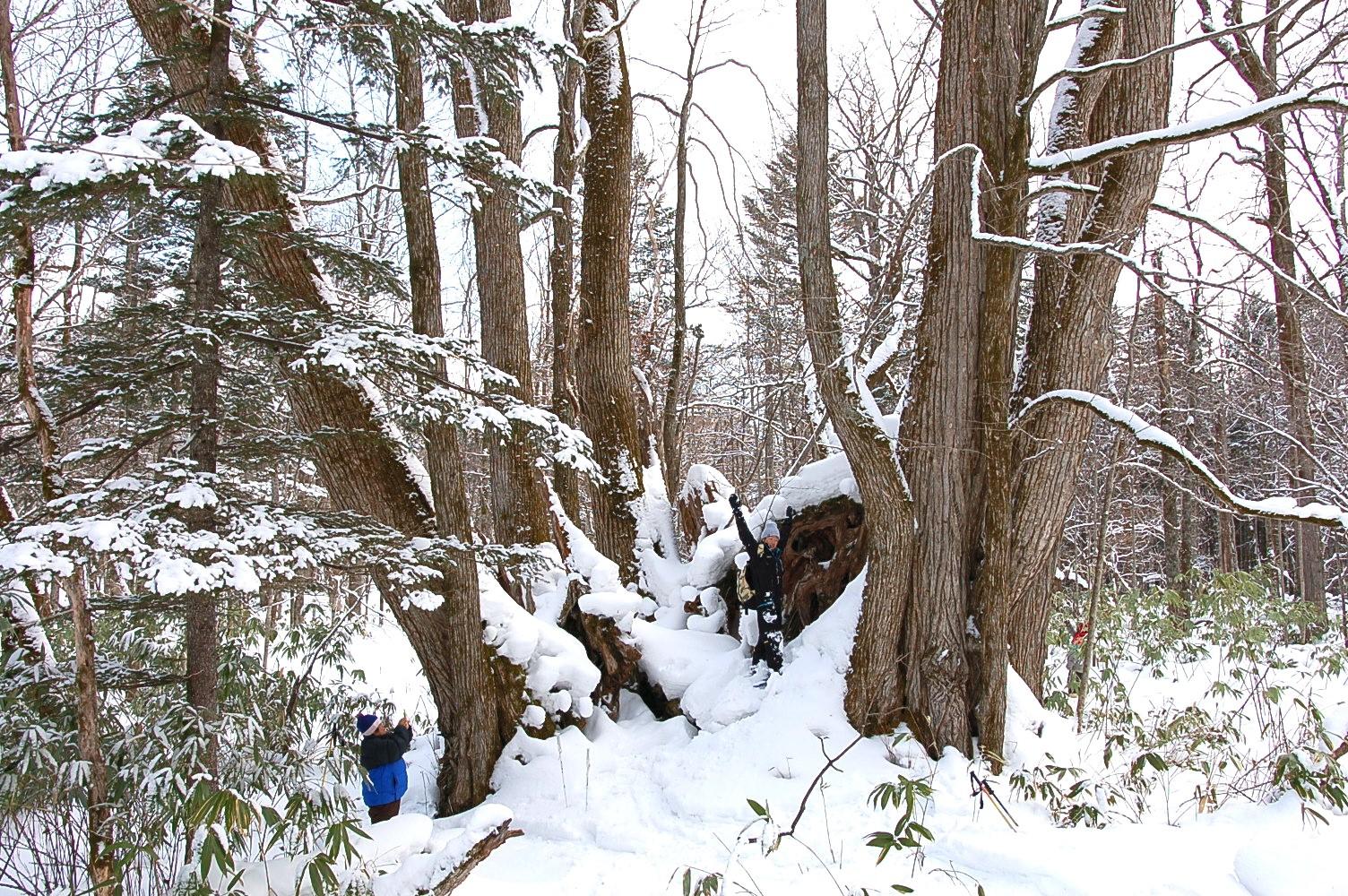 支笏湖の美笛地区にある「巨木の森」