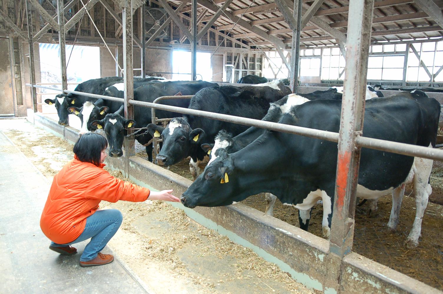 北海道で酪農体験!ソフトクリームも美味しいむらかみ牧場