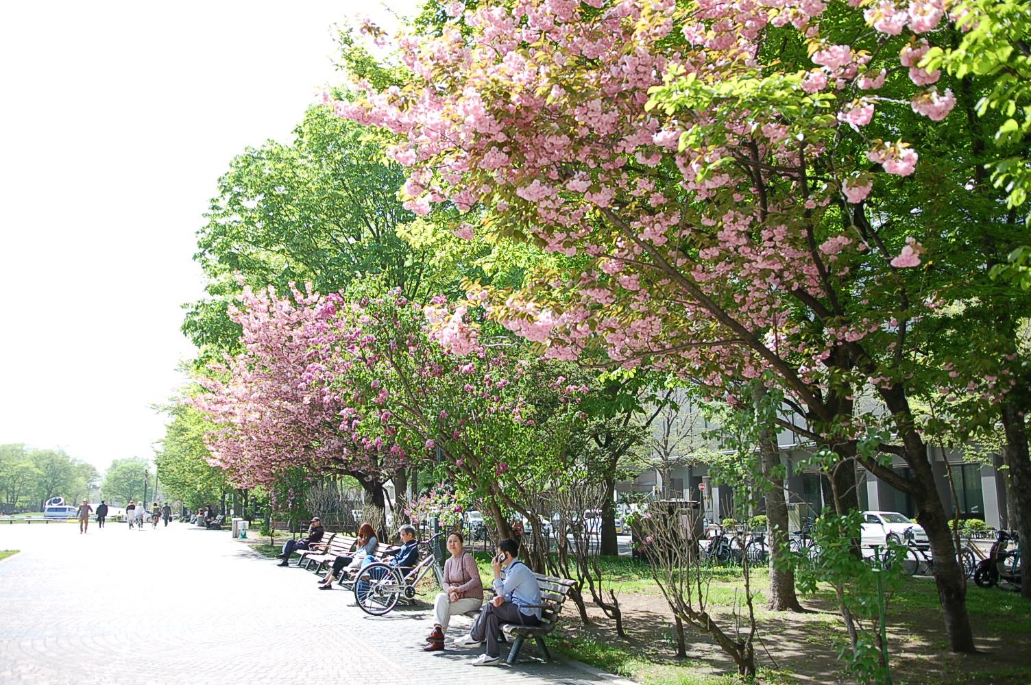道庁前庭ではヤエザクラが満開に、大通公園ではライラックが咲いています