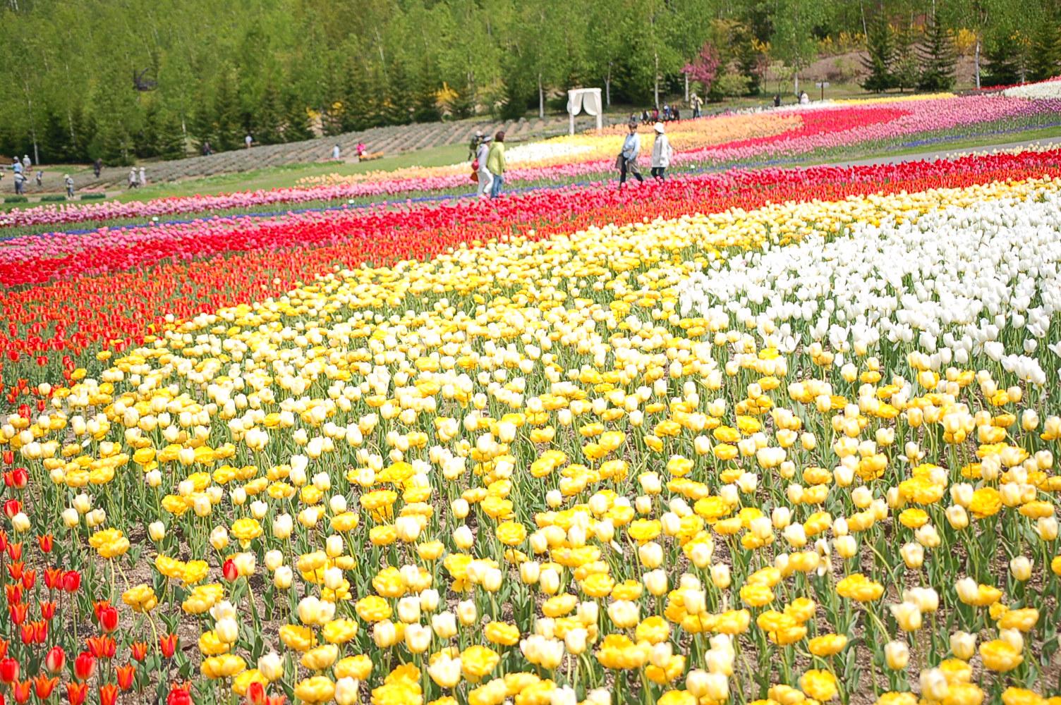 滝野すずらん丘陵公園では「チューリップ・すずらんフェスタ」が開催!