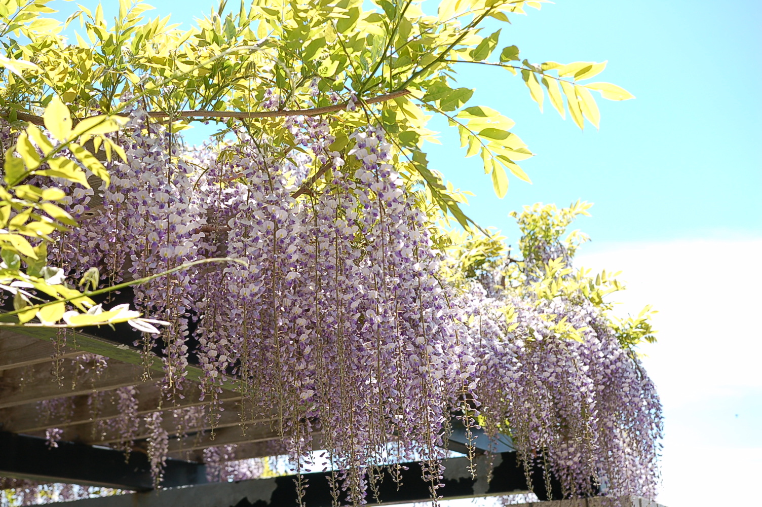 前田森林公園ではフジの花が見ごろを迎えています