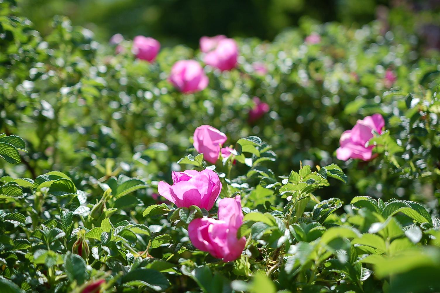 中島公園ではフジの花が見ごろです