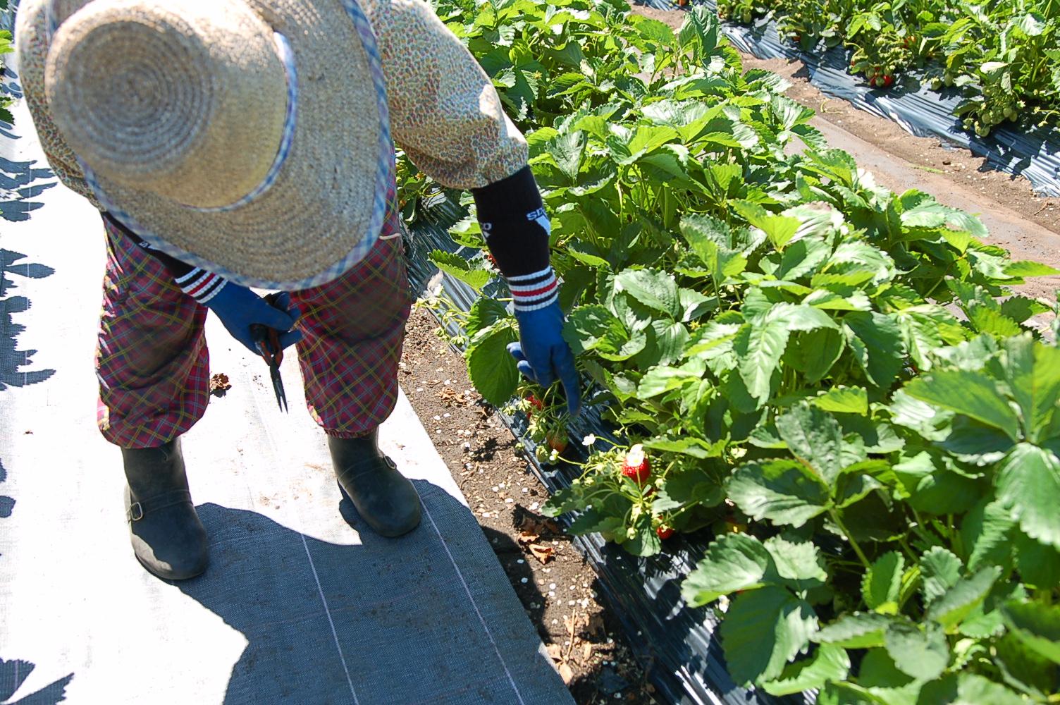 イチゴ狩りがスタート!甘いイチゴを畑で堪能できます