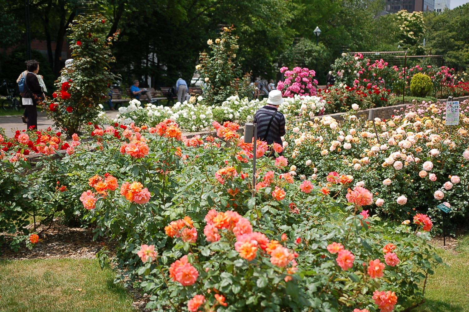 大通公園ではバラが見ごろを迎えています!