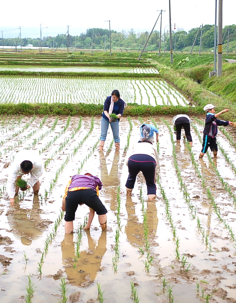 先日の「田植え体験」の稲が順調に生育中!
