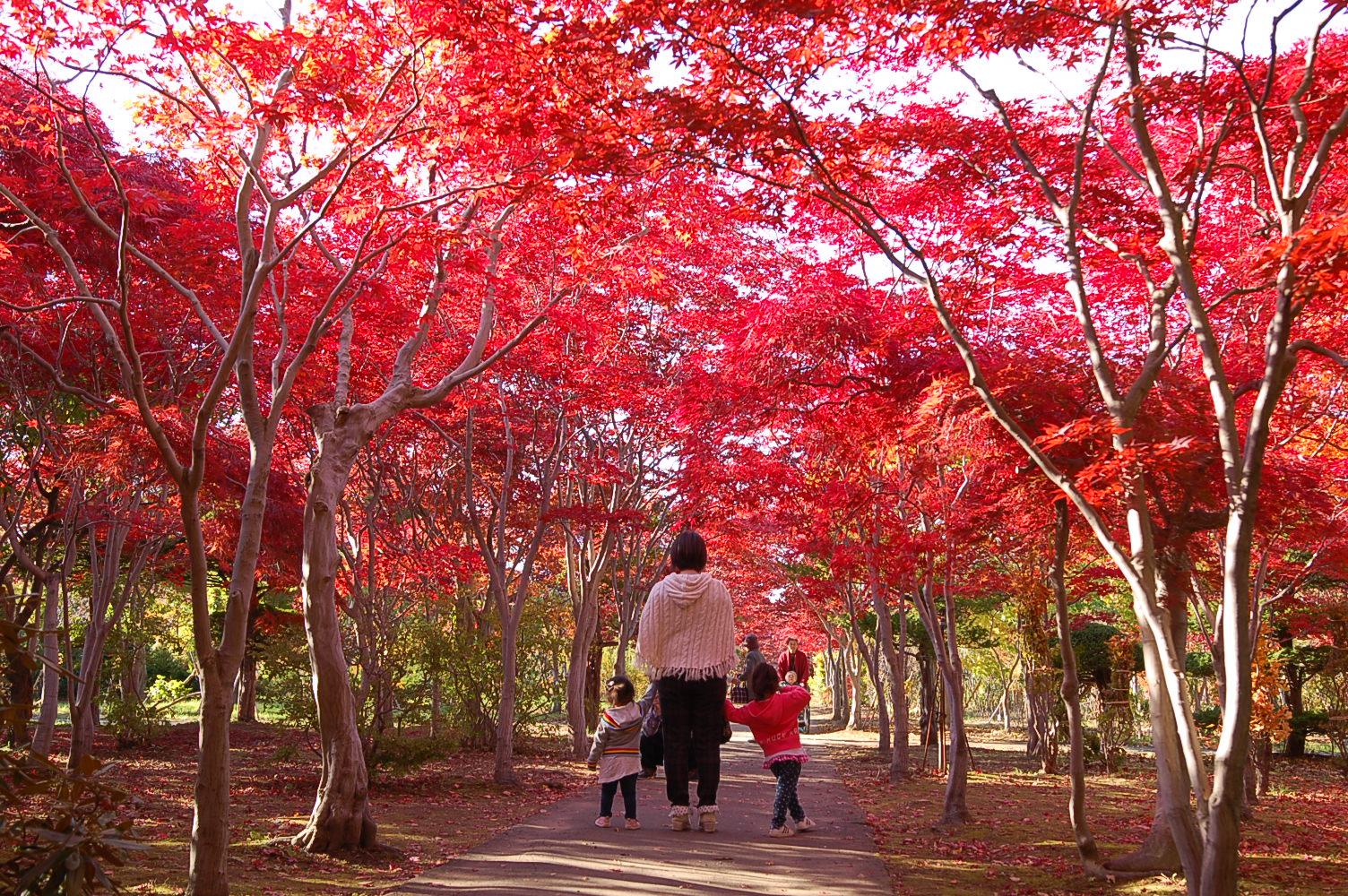 モミジのトンネル、平岡樹芸センターの紅葉がまっさかりに!