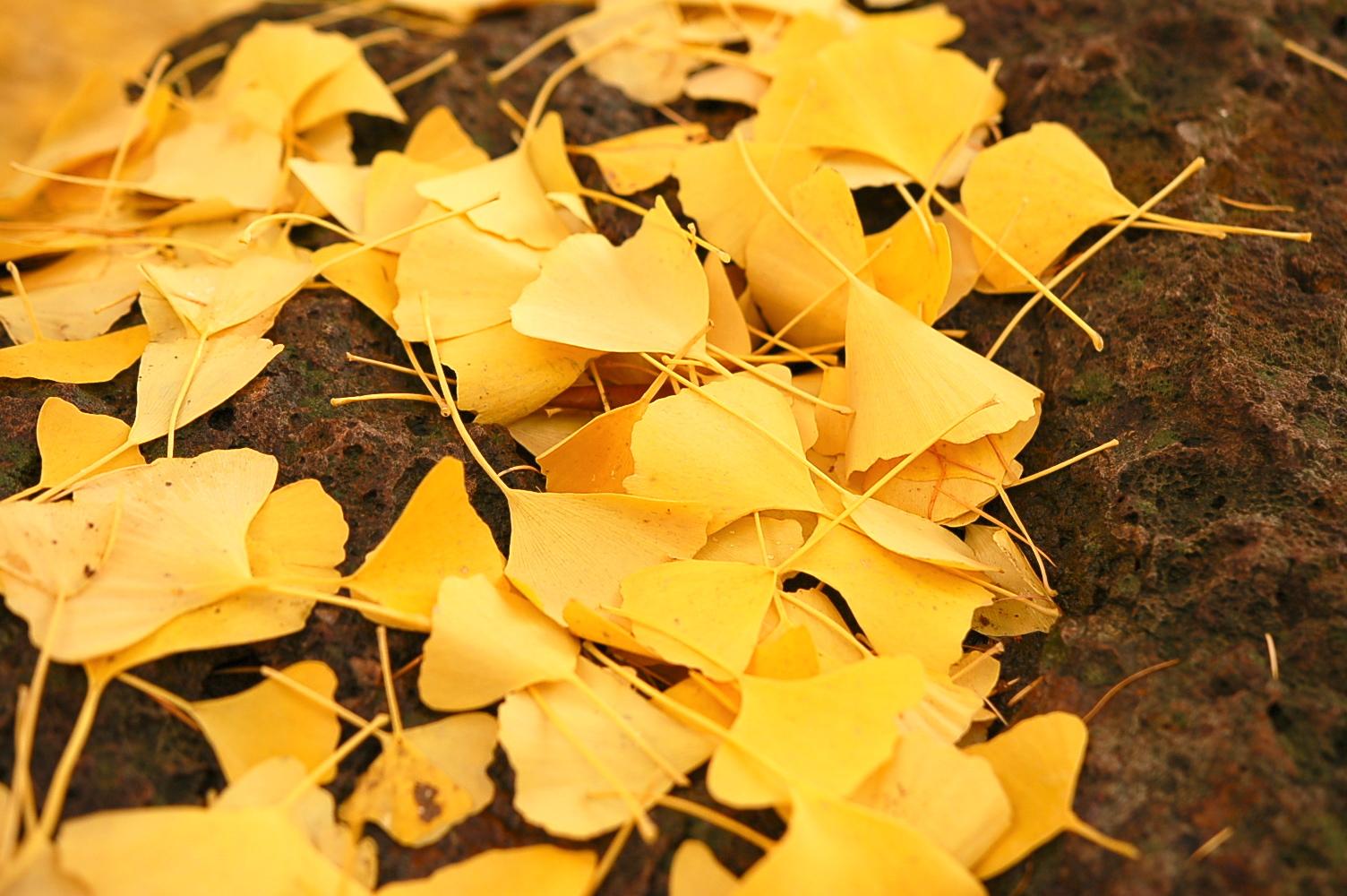 晩秋の札幌、イチョウのじゅうたんが美しい道庁前庭